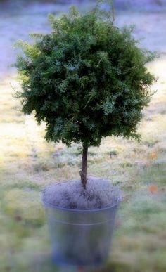 HAVUPALLOPUU   Perinteisen havupallon voi tehdä myös puun muotoon.  Muistathan, että havujen kerääminen ei kuulu jokamiehen oikeuksiin. ... Vases, Topiary Garden, Spruce Tree, Nature Decor, Natural Materials, Wonders Of The World, Branches, House Plants, Gardens