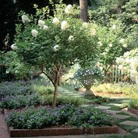 Hydrangea paniculata 'Grandiflora' is sometimes called peegee hydrangea. It's a large shrub or small tree to 20 feet tall.  Hydrangea paniculata 'Limelight' bears light lime-green flowers from midsummer to fall. It grows 8 feet tall.  Full sun to part shade.
