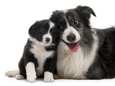 Border Collie Breed Information | Pet365