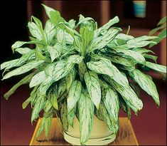 Names of Different Houseplants | ... is one of many foliage plants adapted to conditions in the home