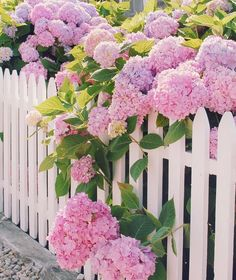 Backyard garden - Pink hydrangeas and a white picket fence have us excited for spring blooms to come Photo southernladymag florals floral justbefloral flowerstagram bloomsandpetals blooms petals i Hydrangea Garden, Pink Hydrangea, Hydrangeas, Hydrangea Landscaping, Hydrangea Season, Hortensia Rose, Pink Flowers, Beautiful Flowers, White Picket Fence