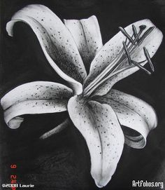Pencil Drawings Of Tiger Lilies Images & Pictures - Becuo Lilies Drawing, Painting & Drawing, Charcoal Art, Charcoal Drawing, Pencil Drawings, Art Drawings, Drawing Sketches, Lily Images, Tiger Drawing