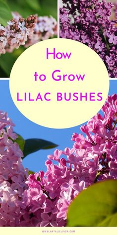 Lilac bushes grow fragrant and beautiful lilacs that bloom in the Spring.  Learn how to plant and grow lilac bushes in your own yard with this helpful growing guide! This low-maintenance perennial can lat for decades and is easy to care for!