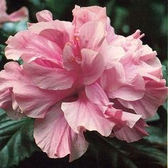 2 Tropical Salmon Pink Hibiscus double flowering UNROOTED Cuttings Bush/shrub easy to root - 2 Tropical Salmon Pink Hibiscus double flowering UNROOTED Cuttings Bush/shrub easy to root - Tropical Flowers, Hawaiian Flowers, Exotic Flowers, Amazing Flowers, Colorful Flowers, Beautiful Flowers, Cactus Flower, Purple Flowers, Flowers Bunch