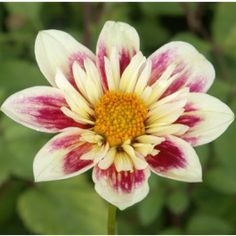 Wide range of dahlias varieties from the NDC for sale in different products ranges - Rooted Cuttings - Garden Ready and tubers. The NDC also offers others types of flowers grown on the farm in Cornwall. Love Flowers, Beautiful Flowers, Dahlias, Beautiful Gardens, Mother Nature, Planting Flowers, Roots, Bloom, Cuttings