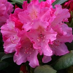 Rhododendron 'Polaris' 3L: Position: Sun / ShadeSoil: Fertile acidic moist well-drained and humus richFlowering Period:May / JunePot Size: 3 LitreHeig