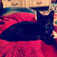 My baby boy on the bed :) #black #cat # kitten #kitty #babyboy #blackcat #blackkitty #blackkitten #yelloweyes