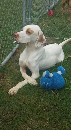 Champ- Foster Home Needed