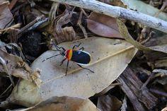 Harlequin bug [Melbourne, Australia] / via