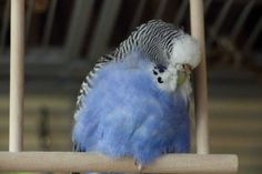Conceived and compiled by Budgie Research Pretty Birds, Love Birds, Beautiful Birds, Budgie Parakeet, Budgies, Parrots, Funny Cute, Cute Pictures, Cute Animals