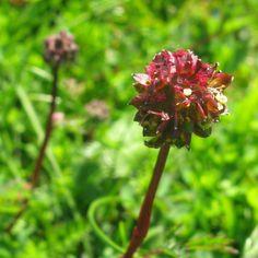Hooks Green Herbs - Sanguisorba minor 'Salad Burnet' Herb Plant (9cm), £3.00 (http://www.hooksgreenherbs.com/sanguisorba-minor-salad-burnet-buy-herb-plant-online/)