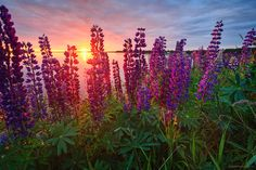 Lupins in PEI by Stephen Desroches