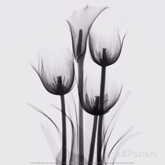 Tulips and Arum Lily Lámina por Marianne Haas en AllPosters.es