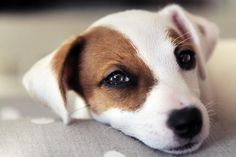 Jack Russell Puppies, Jack Russell Terrier, Really Cute Dogs, I Love Dogs, Baby Animals, Cute Animals, Dog Quotes Love, Baby Dogs, Mans Best Friend