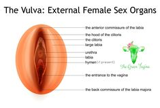 Do you know the difference between your vagina and your vulva? Illustrations and information to help you get to know your anatomy. Knowledge is power and. Female Reproductive System Anatomy, High School Health, Body Diagram, Hymen, Human Anatomy And Physiology, Body Anatomy, Knowledge, Male Body, Parenting Tips