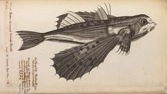 """Study of a flying fish from Historia Piscium (""""a History of Fishes"""") by Francis Willughby and John Ray (1686). The Royal Society nearly bankrupted itself publishing this lavishly illustrated book, making it unable to deliver its promise to publish Isaac Newton's masterpiece Philosophiæ Naturalis Principia Mathematica (""""Mathematical Principles of Natural Philosophy"""")"""