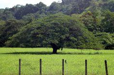 """The """"Guanacaste"""" (Enterolobium cyclocarpum), a native tree to Costa Rica, was designated the National Tree"""
