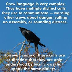 Crow Fact Thursday - Imgur