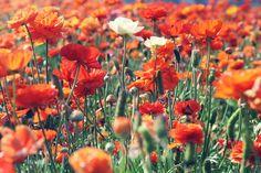 Ranunculus Field