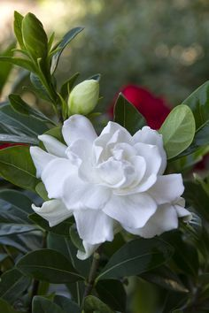 Gardenia - An evergreen with a beautiful scented white flower. I've struggled with these as an inside plant in England but just put two in the garden  can already see buds appearing.                                                                                                                                                                                                                                                                                           9 Repins                   ...