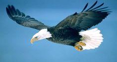 Ilustración de águila con alas abiertas