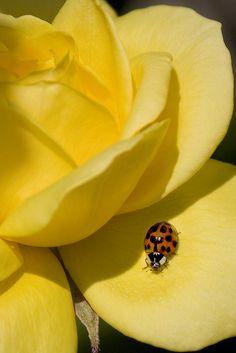 Ladybug on Yellow Rose