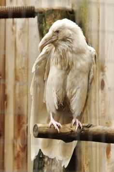 The ''Ghost bird'' an albino Raven believed to be a spirit guardian in Native American folklore