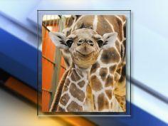 Baby giraffe Dobby makes public debut at Denver Zoo following health scare Oscar Contreras Mar 5, 2017