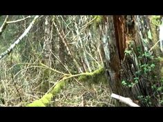 The Ketchikan Alaska Bigfoot Sightings (NO, LISTEN TO HOW MUCH NOISE HE IS MAKING. NO ANIMAL IS GOING TO BE ANYWHERE NEAR THIS GUY. PLUS HE IS TALKING OUT LOUD AS HE TRIES TO FILM A BIGFOOT?)