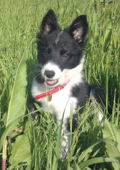 Bessie the Border Collie-Pretty Girl! Border Collie Puppies, Collie Mix, Border Collies, Adorable Animals, Funny Animals, Doggies, Dogs And Puppies, Collie Breeds, Bow Wow