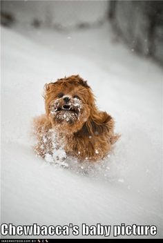 Chewbacca's baby picture.