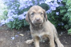 Chocolate Labradoodle, Labradoodle Puppies For Sale, Labrador Retriever, Female, Dogs, Animals, Labrador Retrievers, Animales, Animaux
