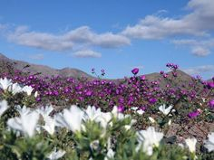 One of the driest places on the planet is currently experiencing a vibrant flower bloom, making for a rare spectacle for those living in northern Chile. Bulb Flowers, Pink Flowers, Champs, Chili, Dry Desert, Desert Flowers, Death Valley, Landscape Photos, Mother Earth