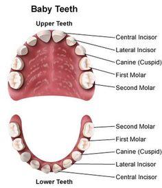 Diagram Of Teeth Diagram Of Teeth. Diagram Of Teeth Teeth. Diagram Of Teeth Teeth Reflexology Chart Pdf. Diagram Of Teeth Tooth Chart Primary Teeth Wi. Baby Teething Symptoms, Teething Chart, Teething Remedies, Natural Teeth Whitening, Whitening Kit, Dental Health, Dental Care, Oral Health, Bones