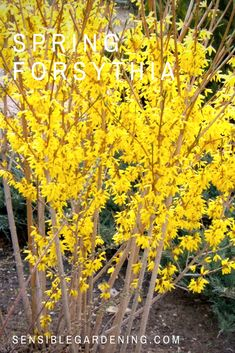 Growing forsythia with Sensible Gardening. Tips for growing forsythia the right way.