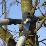 How to prune a plum tree.