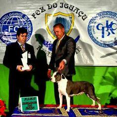 Multi Campeã Blue Taygra Imperial Terriers