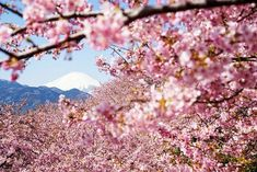 21 Most Beautiful Japanese Cherry Blossom Photos - Rhapsody in pink – Mt. Fuji and early-flowering Sakura Cherry Blossom Japan, Cherry Blossom Season, Japanese Cherry Blossoms, Photo Japon, Monte Fuji, Japan Country, Spring Photos, Spring Blossom, Blossom Trees