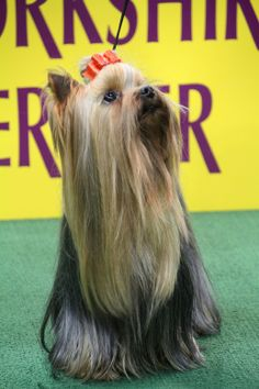 Win a trip for two to New York City to attend the 138th Annual Westminster Kennel Club Dog Show! STAINMASTER® is hosting an #UnShameYourPet photo contest on our Facebook Page. To enter visit STAINMASTER® Facebook Page. #UnShameYourPet #photocontests #contests #contest #dogs