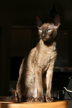 The Cornish Rex Cat