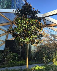 Bamboo Coffee tree and Japanese Magnolia  right in the middle of Canary Wharf?  by lizochka_de