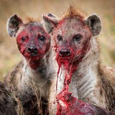 Hyena and blood / lost source. http://ift.tt/2e3SPHO