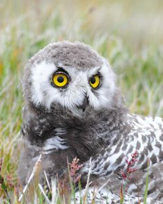 A snowy owl during its awkward adolescent phase. Still quite a looker, wouldn't you say?
