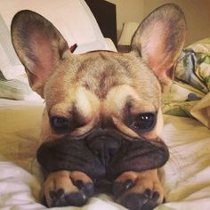 Adorable....Frenchie pup