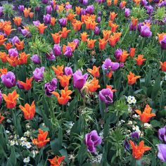 London. Regent's park. Tulips.