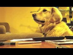 Cute Golden Retriever Loves to Listen to Guitar  I love love love the facial expressions of the pupp-o! ~M