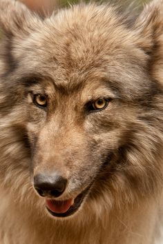Omigosh! This is the actual Big Bad Wolf! What a gorgeous face!