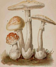"Plate X. Poisonous Mushrooms Of The Genus Amanita from ""Mushrooms Of America, Edible And Poisonous"", by Julius A. Palmer"