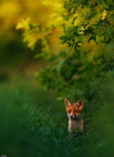 An alert young fox stalks his way through long summer grass, bathed in the glow of a balmy evening.  Hermann Hirsch.