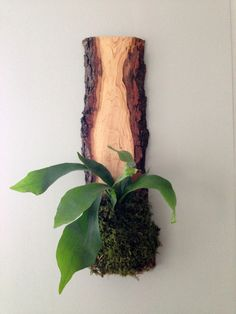 Twig Live-Edge Hardwood Planter Staghorn Fern